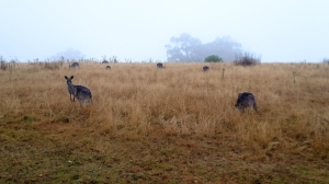 All the kangaroos were out enjoying the absence of the usual Saturday morning human traffic.